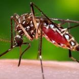 Aedes mosquito, the mosquito trasmitting Zika